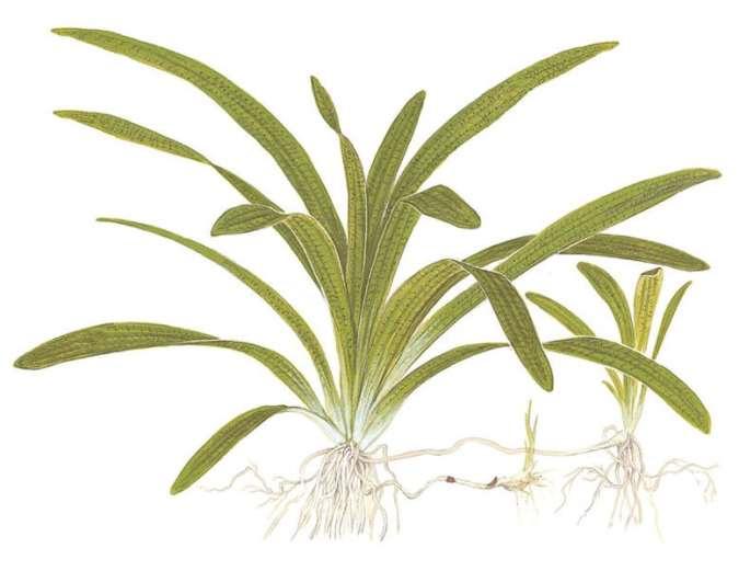 Sagittaria subulata tropical aquatic aquarium plant image
