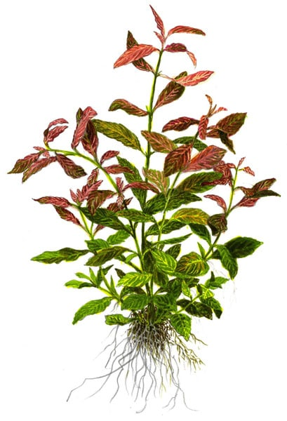 Image of Hygrophila polysperma 'Rosanervig' - buy Aquarium Plants