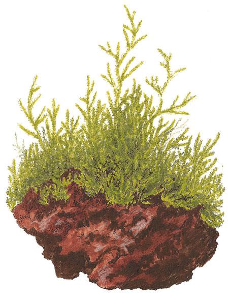Image of Taxiphyllum barbieri buy Nature Aquarium aquascaping plants online