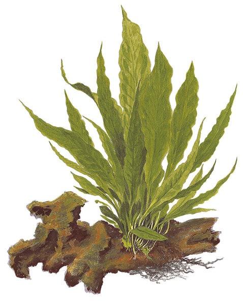 Microsorum pteropus XL - buy tropical aquatic plants online