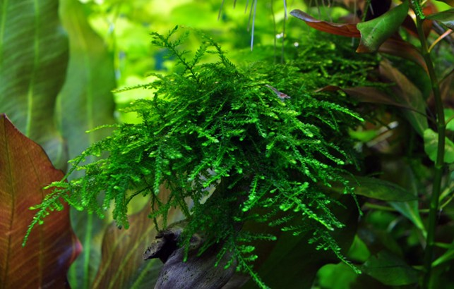 Taxiphyllum sp. 'Spiky' moss - aquatic plant shop