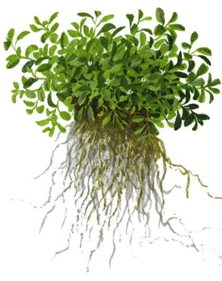 Tropica 1-2-Grow Glossostigma elatinoides - Aquartic Plants Shop