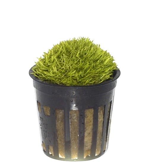 Tropica 1-2-Grow Utricularia Graminifolia