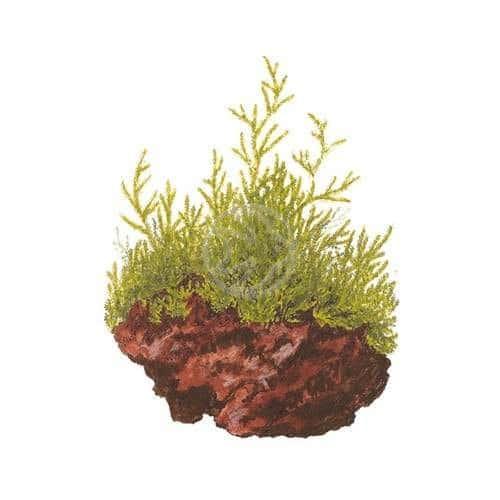 Taxiphyllum flame - buy tropical aquatic aquarium plants