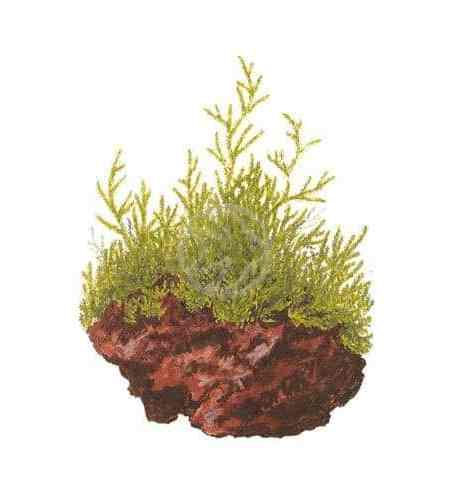 Taxiphyllum flame - buy tropical aquatic aquarium plants