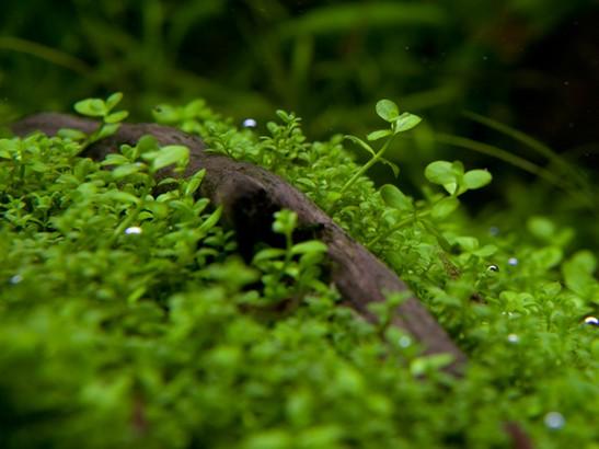 Tropica 1-2-Grow Micranthemum 'Monte Carlo'