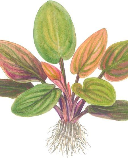 Lagenandra meeboldii 'Red' - tropical aquatic plants superstore
