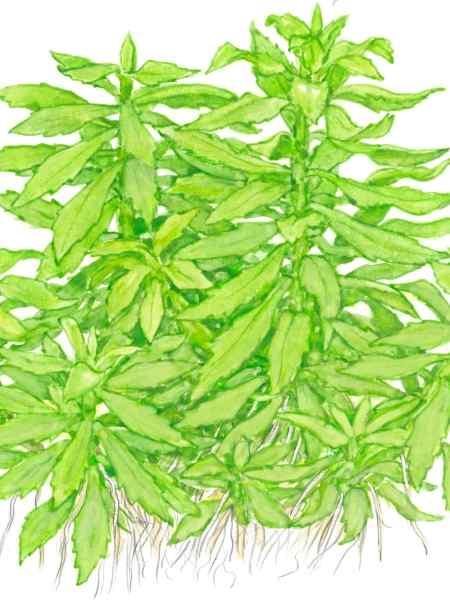 Penthorum sedoides - buy Nature Aquarium Plants