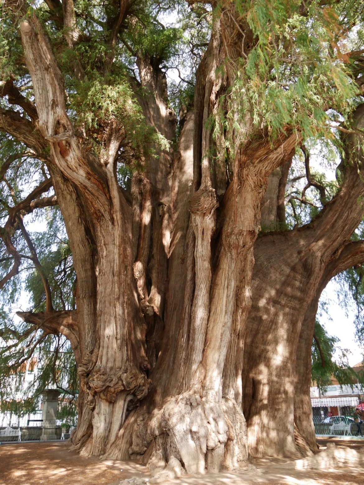 largest tree in the world oldest tree in the world oaxaca mexico
