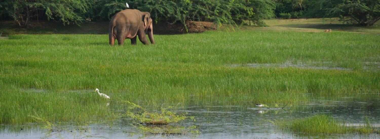 elephant bundala park sri lanka by bicycle