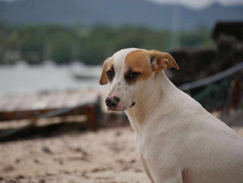 ile maurice chiens errants