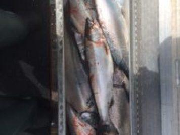 10-fish-tillamook-harvest