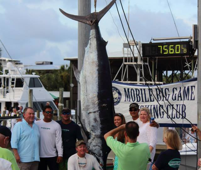 You Never Know With At Lb Blue Marlin During The 36th Annual 2013 Mbgfc Memorial Day Tournament