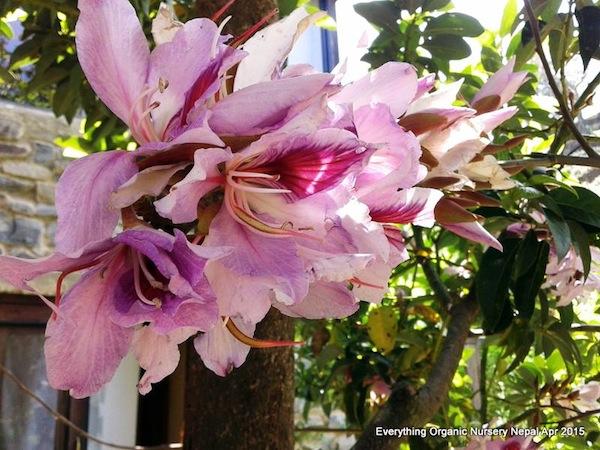 Koiralo flower