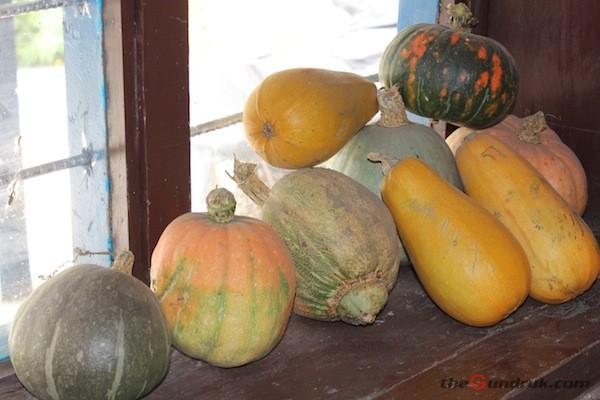 pumpkin varieties mustang