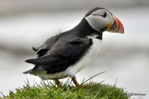 Puffins at the Castle o' Burrian