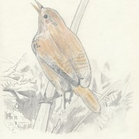 A Wren in the garden - forty years ago in my nature notebooks