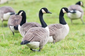 Canada Geese - The Hall of Einar - photograph (c) David Bailey (not the)