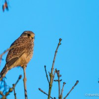 Kestrel - forty years ago in my nature notebooks