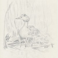 Great Crested Grebe - forty years ago in my nature notebooks