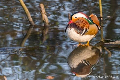 Male Mandarin Duck - The Hall of Einar - photograph (c) David Bailey