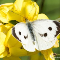 Large White Butterflies and their view of heaven