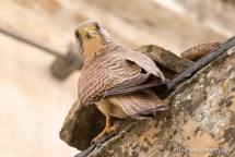 Lesser Kestral in Matera - The Hall of Einar - photograph (c) David Bailey (not the)