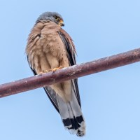 The Lesser Kestrels of Matera #3