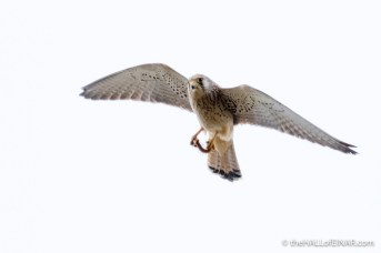 Lesser Kestrel in Matera - The Hall of Einar - photograph (c) David Bailey (not the)
