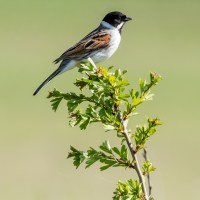 Reed Bunting - forty years ago in my nature notebooks
