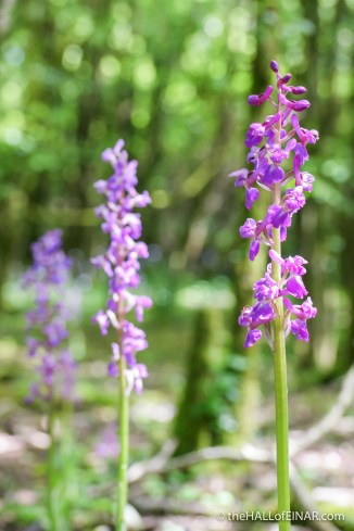 Early Purple Orchid - The Hall of Einar - photograph (c) David Bailey (not the)