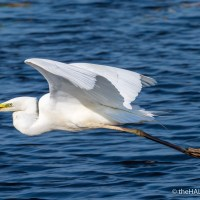 Great White Egret at RSPB Ham Wall