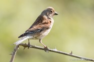 Linnet - The Hall of Einar - photograph (c) David Bailey (not the)