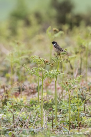 Male Stonechat - The Hall of Einar - photograph (c) David Bailey (not the)