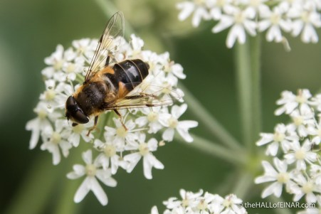 Eristalis pertinax Hoverfly - The Hall of Einar - photograph (c) David Bailey (not the)