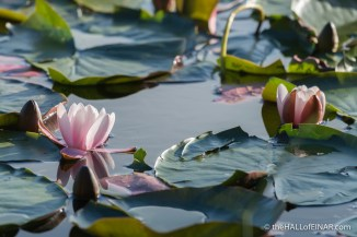 Water Lilies - The Hall of Einar - photograph (c) David Bailey (not the)