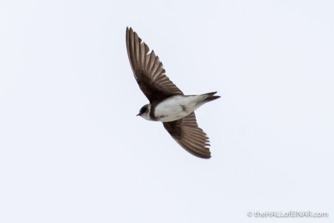 Sand Martins - The Hall of Einar - photograph (c) David Bailey (not the)