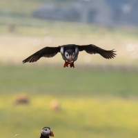 Puffins in the air