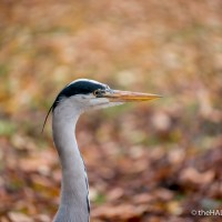 Autumn Heron Portraits