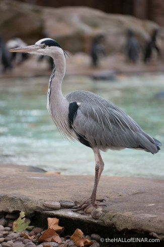 Heron at London Zoo - The Hall of Einar - photograph (c) David Bailey (not the)