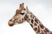 Giraffe - The Hall of Einar - photograph (c) David Bailey (not the)