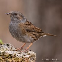 The secret sex life of the Dunnock