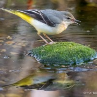 Why do Wagtails wag their tails?
