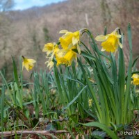 The wild Daffodils of Bridford Wood