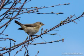 Willow Warbler - The Hall of Einar - photograph (c) David Bailey (not the)