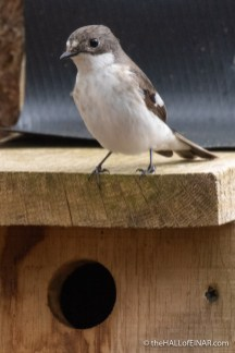 Pied Flycatcher - The Hall of Einar - photograph (c) David Bailey (not the)