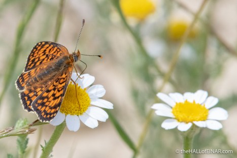 Knapweed Fritillary - The Hall of Einar - photograph (c) David Bailey (not the)