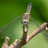 A dash of Blue Dasher