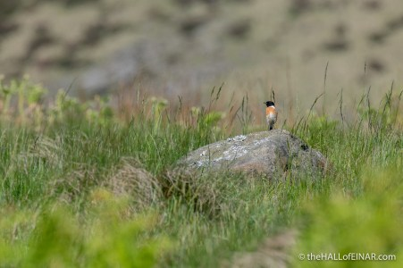 Stonechat - Dove Stone - The Hall of Einar - photograph (c) David Bailey (not the)