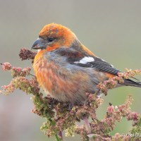 Rare Crossbills on the Links